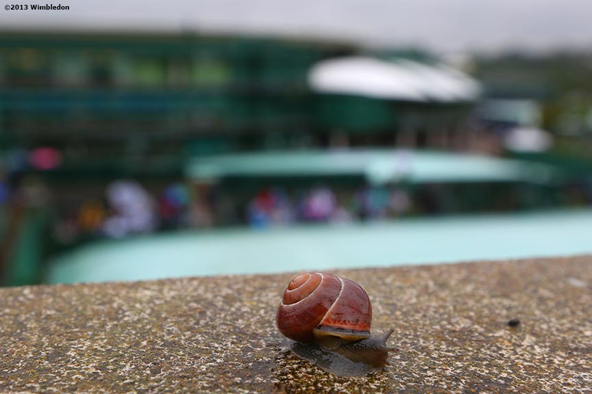 """A snail is shown as rain falls at the All England Lawn and Tennis Club in London, England Friday, June 28, 2013 during the 2013 Championships Wimbledon."""
