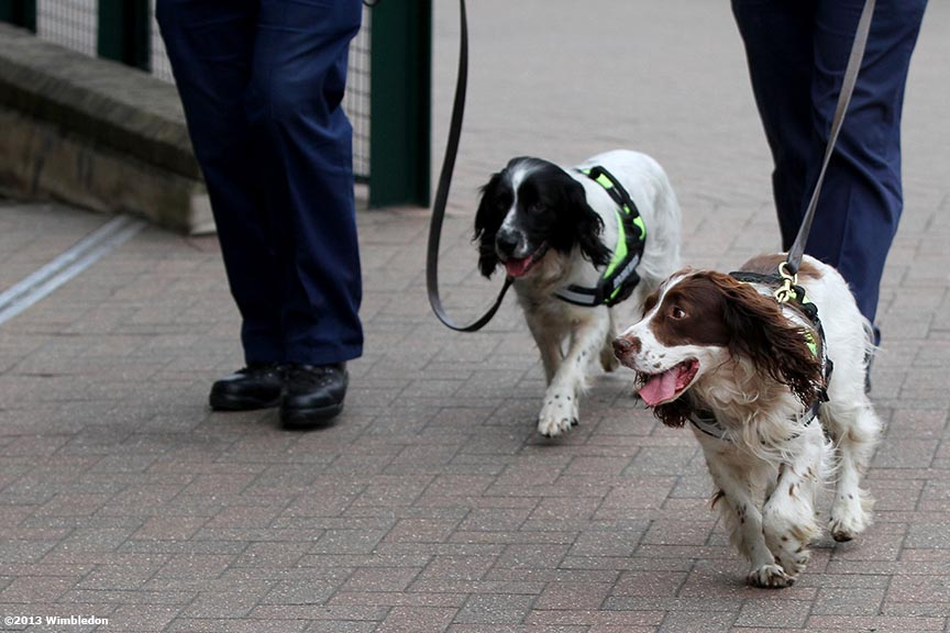 """Drug sniffing dogs search the grounds at the All England Lawn and Tennis Club in London, England Tuesday, July 2, 2013 during the 2013 Championships Wimbledon."""