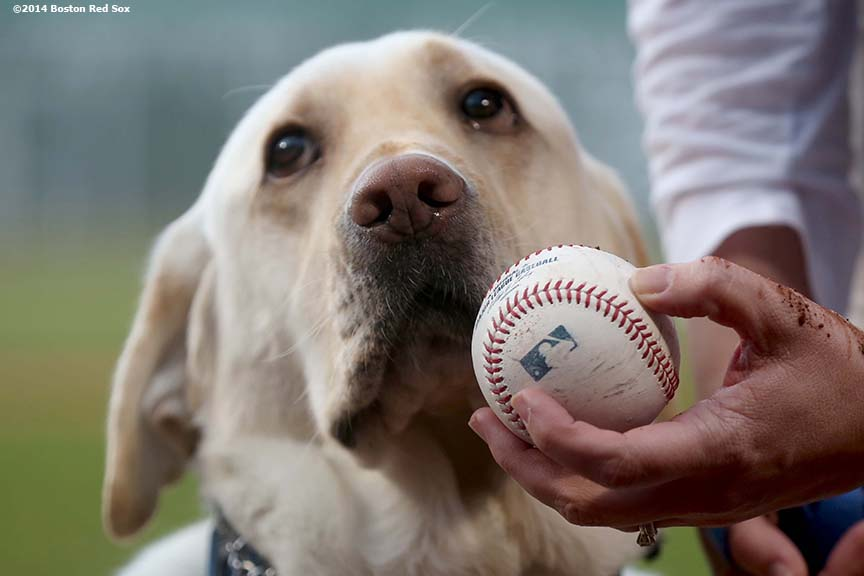 """A disability assistance dog eyes a baseball during a pre-game ceremony before a game between the Boston Red Sox and the Tampa Bay Rays Thursday, May 1, 2014 at Fenway Park in Boston, Massachusetts."""