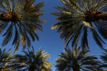 """Palm trees are shown at the Indian Wells Tennis Garden in Indian Wells, California Thursday, March 12, 2015."""