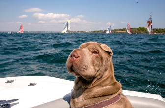 NEWPORT, RI - MAY 17: In this handout image provided by the Volvo Ocean Race, a dog looks on as boats are shown racing during the start of Leg 7 from Newport to Lisbon on May 17, 2015 in Newport, Rhode Island. The Volvo Ocean Race 2014-15 is the 12th running of this ocean marathon. Starting from Alicante in Spain on October 11, 2014, the route, spanning some 39,379 nautical miles, visits 11 ports in eleven countries (Spain, South Africa, United Arab Emirates, China, New Zealand, Brazil, United States, Portugal, France, The Netherlands and Sweden) over nine months. The Volvo Ocean Race is the world's premier ocean yacht race for professional racing crews. (Photo by Billie Weiss / Volvo Ocean Race via Getty Images)