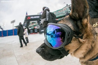 """Drago, dog of head groundskeeper Dave Mellor, looks on as he wears ski goggles during the Polartec Big Air at Fenway ski and snowboard competition at Fenway Park in Boston, Massachusetts Thursday, February 11, 2016."""
